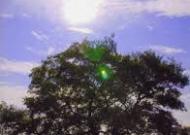 タントリックツインの樹